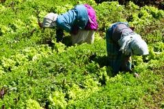 Twee Landbouwers die aan een plantaardig landbouwbedrijf werken Royalty-vrije Stock Afbeeldingen