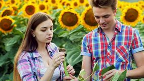 Twee landbouwers inspecteren wortel, de mens en vrouw in het agrarische gebied, die op een gebied van zonnebloemen spreken stock footage
