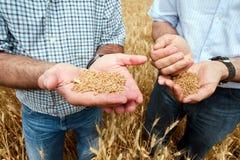 Twee landbouwers met een korrel van tarwe in zijn handen. Stock Afbeelding