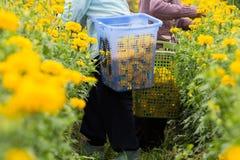 Twee landbouwers oogsten goudsbloemen Stock Afbeelding