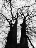 Twee lange donkere bomen van de de winterbeuk benadrukt againts een witte winst Royalty-vrije Stock Afbeelding