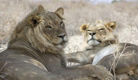 Twee leeuwbroers Royalty-vrije Stock Fotografie