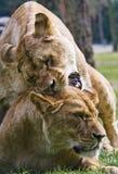 Twee leeuwen stock afbeeldingen