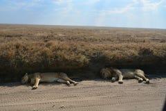 Twee leeuwen in de schaduw naast weg op safari Tanzania Royalty-vrije Stock Foto's