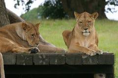 Twee leeuwen die onder boom rusten Stock Afbeeldingen