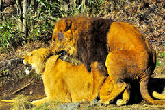 Twee leeuwen het koppelen. Stock Afbeeldingen