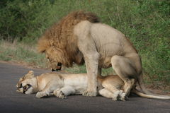 Twee leeuwen het koppelen royalty-vrije stock afbeeldingen