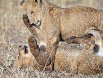 Twee leeuwenwelpen die in de stralen van de ochtendzon worden gespeeld Royalty-vrije Stock Foto's