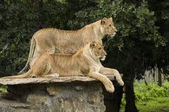 Twee Leeuwinnen Stock Foto's