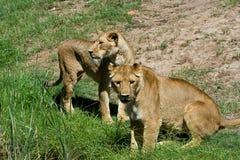 Twee Leeuwinnen Stock Afbeeldingen