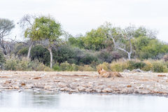 Twee leeuwinnen bij een waterhole in Namibië Royalty-vrije Stock Afbeelding