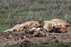 Twee leeuwinnen die in het gras slapen Royalty-vrije Stock Foto's