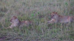 Twee leeuwinnen die in het gras zitten avond stock videobeelden