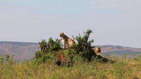 Twee leeuwinnen die op de heuvel zitten Zij inspecteren het gebied stock videobeelden