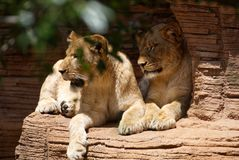 Twee leeuwinnen die op een richel rusten royalty-vrije stock fotografie