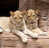 Twee leeuwinnen die op een richel rusten royalty-vrije stock foto