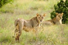 Twee leeuwinnen het liggen Stock Foto's