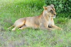 Twee leeuwinnen het liggen Stock Foto