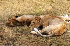 Twee leeuwinnen het rusten Stock Afbeelding