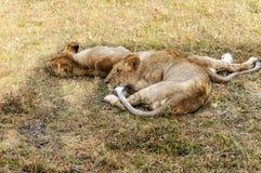 Twee leeuwinnen het rusten Stock Foto's