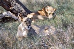 Twee leeuwinnen het slapen Royalty-vrije Stock Afbeeldingen