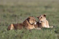 Twee leeuwinnen liggen in het gras Stock Afbeelding
