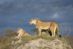 Twee leeuwinnen op een grasrijke termiethoop met onweer het naderbij komen Royalty-vrije Stock Afbeelding