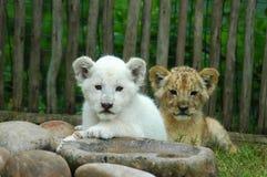 Twee leeuwwelpen royalty-vrije stock foto's