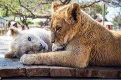 Twee leeuwwelpen Stock Foto