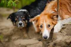 Twee leuk hondportret Royalty-vrije Stock Foto's
