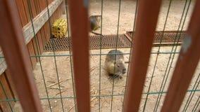 Twee leuke bevers in dierentuin stock foto's