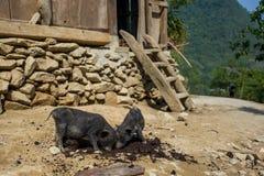 Twee leuke biggetjes in Sapa, Vietnam stock foto