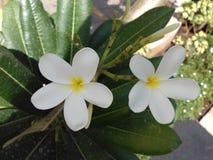 Twee leuke 5 bloemblaadje witte bloem Stock Afbeelding