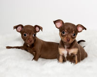 Twee Leuke Chihuahua-Puppy op Wit bont Stock Afbeeldingen