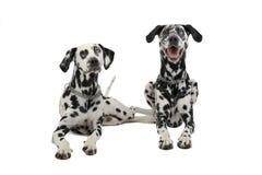Twee leuke dalmatians die in een witte achtergrondfotostudio liggen Stock Foto