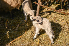 Twee leuke en aanbiddelijke jonge lammeren die op het landbouwbedrijf spelen Stock Afbeeldingen