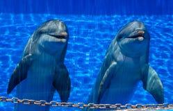 Twee leuke gelukkige dolfijnen Royalty-vrije Stock Afbeeldingen