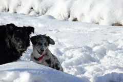 Twee leuke honden die in de sneeuw spelen Royalty-vrije Stock Foto