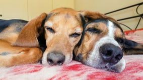 Twee leuke honden die zij aan zij slapen Dichte omhooggaand kijkt van een grappig en het houden van ogenblik stock video