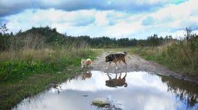 Twee leuke honden, weinig pomeranian spitz, en grote bastaarde hond die op een gebied in de zomerdag lopen royalty-vrije stock foto