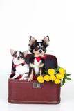 Twee leuke honden zitten in doos met gele tulpen Royalty-vrije Stock Afbeelding