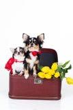 Twee leuke honden zitten in doos met tulpen Royalty-vrije Stock Fotografie