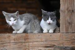 Twee leuke katten Stock Afbeelding