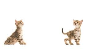 Twee leuke katten allebei die van de gestreepte kat Turkse angora baby omhoog eruit zien Stock Foto
