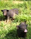 Twee leuke kleine babybiggetjes die langskomen te zeggen hello Royalty-vrije Stock Foto