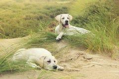 Twee leuke kleine de hondpuppy van Labrador op duinen bij strand Stock Afbeeldingen
