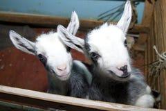 Twee leuke kleine geiten op het landbouwbedrijf Royalty-vrije Stock Fotografie