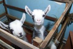 Twee leuke kleine geiten op het landbouwbedrijf, het glimlachen geiten Royalty-vrije Stock Foto's