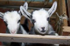 Twee leuke kleine geiten op het landbouwbedrijf, het glimlachen geiten Royalty-vrije Stock Afbeeldingen