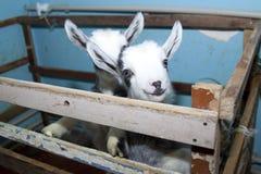 Twee leuke kleine geiten op het landbouwbedrijf, het glimlachen geiten Stock Foto's